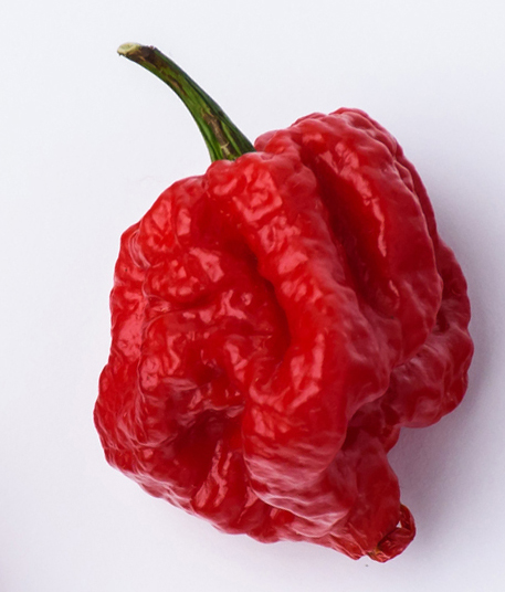 Hot Chilli Carolina Reaper isolated on white